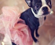 Boston Terrier Goodness / by Stephy Britches