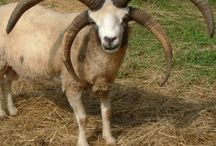 Jacob Sheep (4 horns) / by Julie Bell