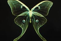 lucent lepidoptera & libellules etc / by David Lovely