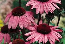 Echinacea / by Growing The Home Garden