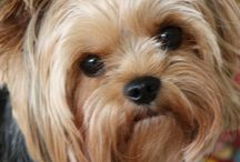 I want a Yorkie! / by Heather Sells