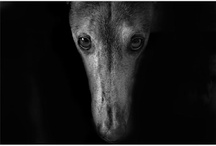 Greyhounds / by Trish Windley