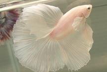 beta fish / by Mary Beth Sasso