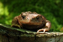 Frogs and Toads / by Avril Dudley