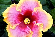 Hibiscus / by Plant Care Today