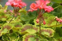 Fancy leaved and scented Geraniums / by karen colleran