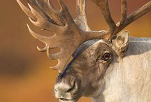 Caribou and reindeer / There adorable and cute / by Paige Germscheid