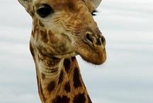 giraffes / by Vanessa Shearman