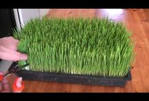 Growing Wheatgrass / A how-to video courtesy of youtube, and photos of my own wheatgrass growing process.  / by Lisa Jaynes
