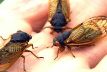 Cicadas are Coming! / by SB&F Online (Science Books & Films)