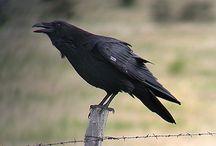 Raven Pics / by Crymsyn Hart