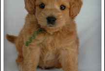 Petite Miniature Golden Doodles / by Marcela Kapfer