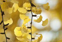 Maidenhair Tree / by Happiness Reborn