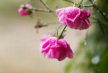 Raindrops on Roses... / by Edwina Richardson