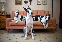 Dashing Danes and Other Darling Dogs / by Amber Smith