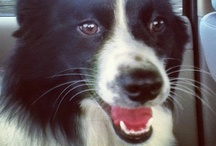 Border Collies / by iBarkd.com