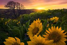 Sunflowers  / Everything sunflower / by Laurie Dowdy Stewart