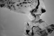 Charming Cheetah / Less than 12.000 cheetah remain worldwide...help us save them! / by stichting SPOTS