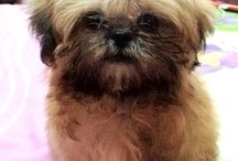 Shih-Tzu.... Maybe? / by Melinda Kirk