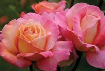A Rose by any other name.... / Life is not always a bed of roses...take time to plant some / by Kathy Moncrief