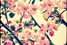 I love cherry blossoms / by Harmony Shawishian