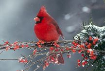 Cardinals / Matthew 6:26  Look at the birds of the air; they do not sow or reap or store away in barns, and yet your heavenly Father feeds them. Are you not much more valuable than they? / by Jan Gruber