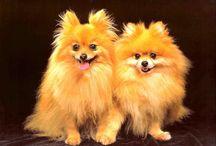 Pomeranian / Pomeranian / Pom Pom / German Spitz / #Scenthound #Dogs #Puppy #Dog #Puppies #Hunting Deutscher Spitz; Zwergspitz; Spitz nain; Spitz enano; Pom; Zwers / by Dog Breeds