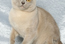 EUROPEAN BURMESE / by Cat Fanciers Association