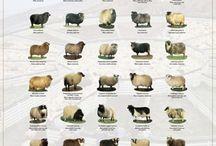 Sheeps / by tintinnael