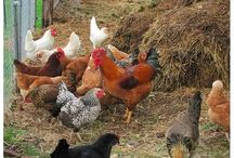 For the Farm home / Farming Life, Chickens, Roosters, Mini horses, Mini Pigs, Pygmy Goats, Gardening, Tractors, etc / by Robin Hinman