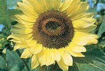 Sunflowers / by Backyard Gardener