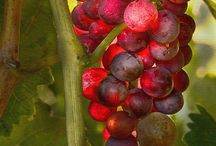 Wine, Vineyards, grapes / by Beth Whitehead