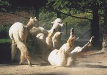 Alpaca Dream'n / by Cathy Mackey
