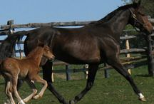 Equus- The Hanoverian / by @Jurisprude