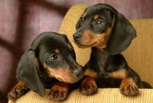 All Things Doxie / by Linda Fraley