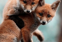 Canines: Foxes / by Quirky Bibliophile