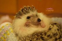 hedgehogs being adorable  / by Kylee Shirakawa