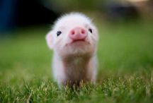 I Love Pigs! / by Cristina Coimbra