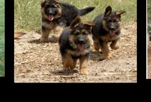 German Sheperd  / by Wendy Mikson