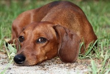 """Crazy Dachshund Lady! / Things that remind me of my constant companion. Mostly Dachshunds but I love any dog.   Since the board has become so large, I have moved some of my pins to my """"Dachshunds & Their Famous Friends"""" board & """"Dachshunds In Disguise """" - Costumes and Clothes ;).  / by Gina Sanders"""
