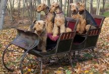 Airedales / by Jessica Cook