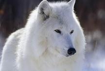 WOLFIES / by Jenny Kirkpatrick