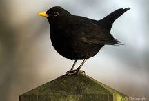 Blackbird / by Elizabeth Elmore