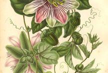 Passifloraceae / by Bárbara Rendel