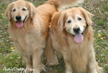 (Group Board) Golden Retrievers! / A group board about golden retrievers, set up by AugieDoggy.com!  Pin cute, happy pictures of golden retrievers--nothing sad, shocking, upsetting, or graphic, please.  (If you'd like to be invited to pin, ask on any existing pin.  We have to be following each other for it to work, so be sure to do that too.)  Won't you visit our golden retriever shop? www.Zazzle.com/AugieDoggyStore*/ / by AugieDoggy .com