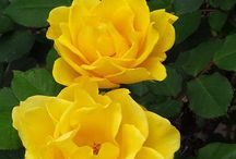 :: Roses ~ / by Eduardo Godoi