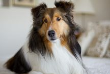 """MY SHELTIE  ~  """"GINGER"""" ♥ / FOR THE LOVE OF MY SWEETEST GIRL & BEST FRIEND, GINGER, ALTHOUGH THIS ISNT HER,  SHE'S A BEAUTIFUL SHELTIE LIKE PICTURE HERE!  ♥ THANK YOU FOR FOLLOWING ME! ♥ / by Rettak ¥"""
