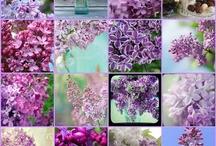 Lilac & Purple Rules <3 / I love Lilac & Purple / by Unique' Lilac