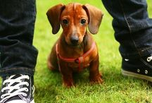 It's a Dachshund thang! / by Diana Bailey