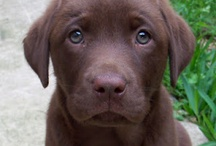 too cute...puppies (mostly labs) / by Tamara Cain